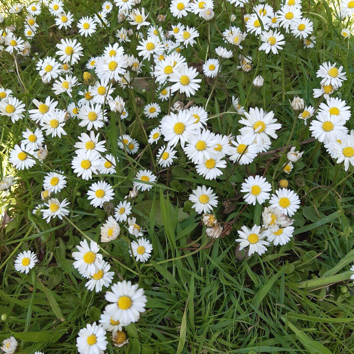 Day 1 #30DaysWild @WildlifeTrusts @WTWales @WTSWW Daisy's in my garden 💚