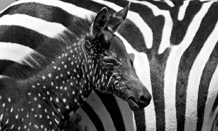 Zebra is one of the most #beautiful animal in the zoo, its black and white. pic.twitter.com/YMN9w0jy6s