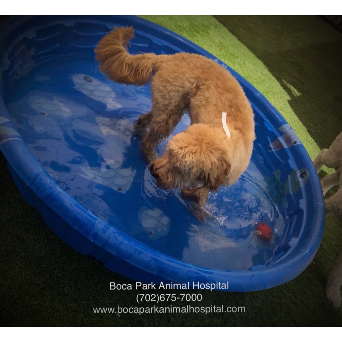 It's pool weather!⠀ Kiddie pool for your furbaby will be out soon!⠀ Bring your furbaby for some fun in daycare!!⠀ #poolweather #cooloff #daycare #bocaparkah⠀<br>http://pic.twitter.com/CMAjeusm5G