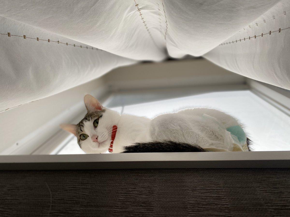 おはようございます🐱 少しゆっくりめの朝✨  この数日、主人が里親募集の猫さんを検索しまくってます。 子ども達が「チップちゃんにお友達をつくってあげて!」ってお願いしたからだと思われる、、  #猫 #キジミケ #三毛猫 #猫好きさんと繋がりたい https://t.co/jQuWym5IFF