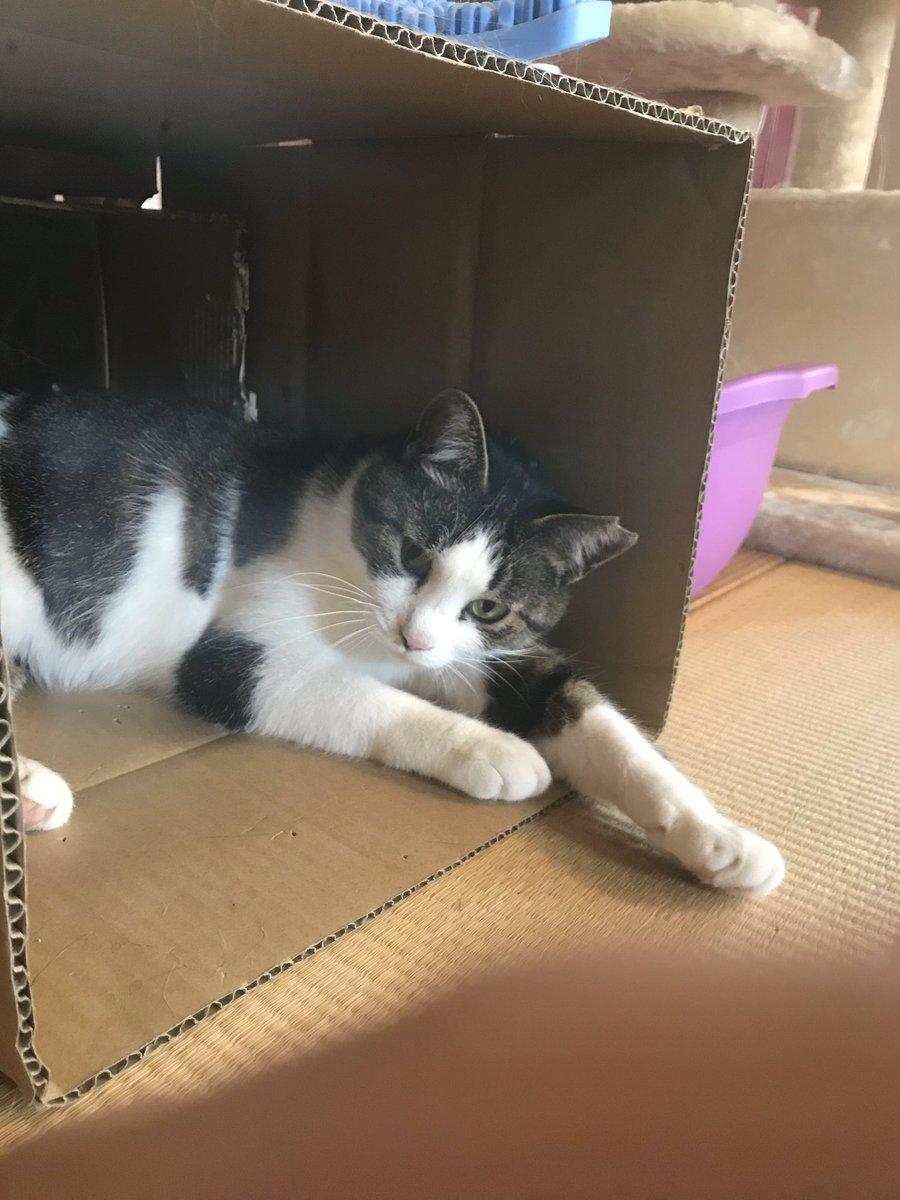 まおちゃんのお気に入りは、ぼくが適当にダンボール箱をつなげて作った猫小屋?^_^だったりします。横に6千円くらいで買ったキャットタワーがあるのに、このタダのダンボールばかりはいってます(^^;; #猫 #猫写真 #猫の居る生活 https://t.co/9iKrxivtxE