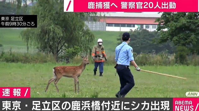 """【注意】東京・足立区の鹿浜橋付近に""""シカ""""出没警察官20人ほどが出動し、保護するため走って追いかけている。数日前から目撃情報があったといい、いまも逃げ回っているという。"""
