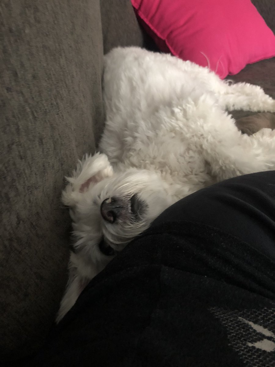 I live for this little dude! He knows I'm struggling today and hasn't left my side ❤️❤️❤️ Dogs are the best!   #AdoptDontShop #SeniorDog #Rescue #SoulMate #bestfriend #yyc https://t.co/rakzqkl9GU