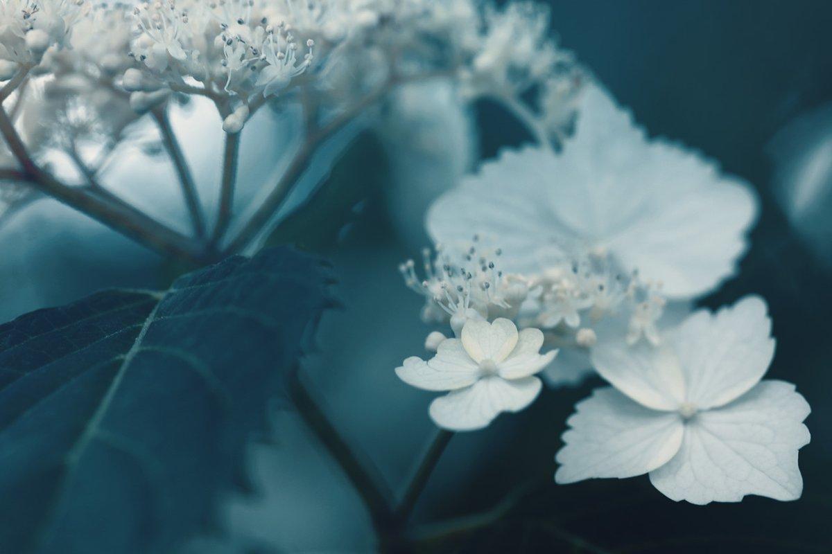 咲き初める紫陽花
