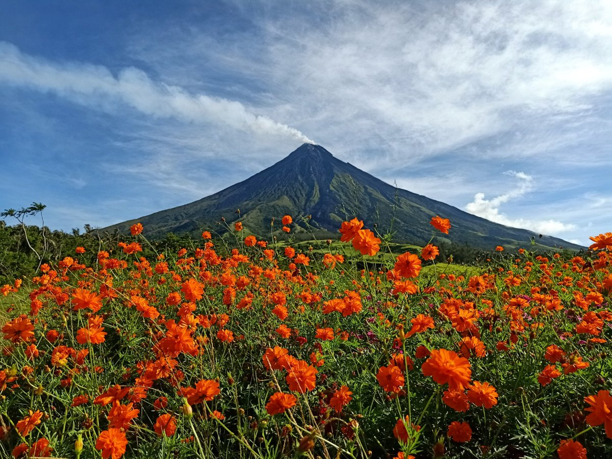 LOOK: Cosmos flowers are in full bloom at the village of Mi-isi at the foot of the Mayon Volcano in Daraga town, Albay province.  (📷: Jeric Llamoso Mendez) https://t.co/wd8uwfv6Z9