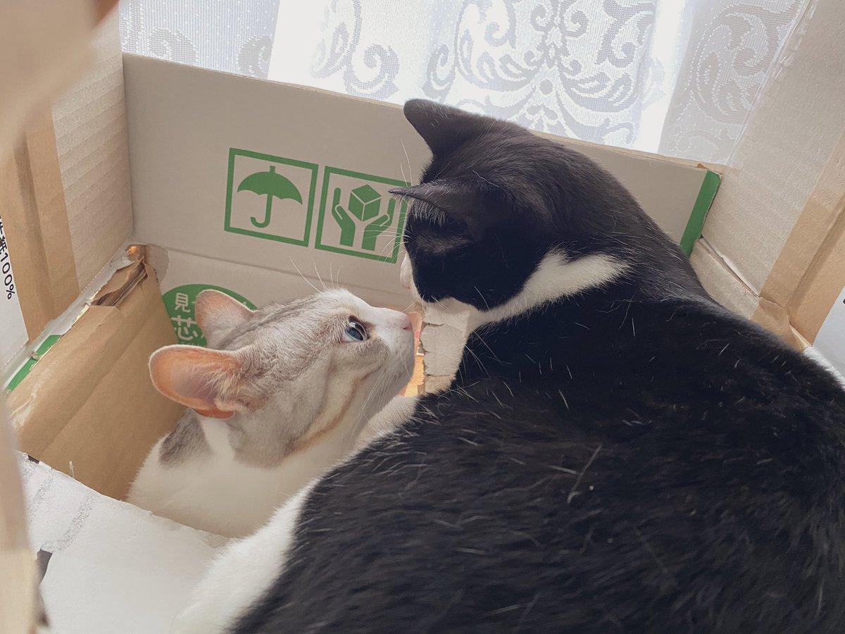 キスをするのかと思いきや、噛まれた。#猫 #大豆姉妹