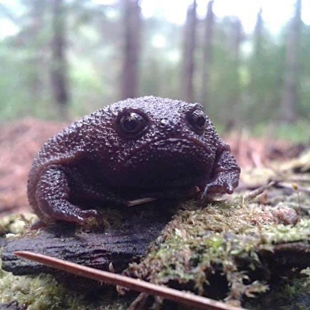 Black #rain frogs (Breviceps fuscus) are fascinating creatures, but look like unhappy avocados #nature #frogpic.twitter.com/se5KgIiRMH