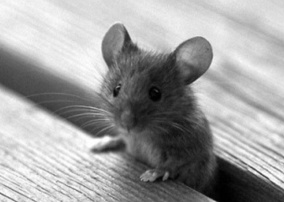 Hello, here is your mouse for today ! Have a good quarantine day #stayhome! pic.twitter.com/i9z2OemXZ1