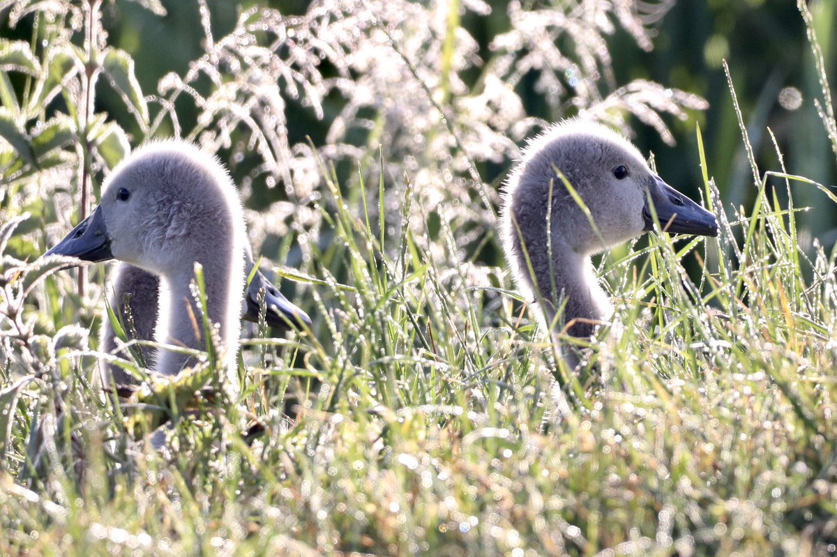Cygnets hiding in the grass @Britnatureguide @Natures_Voice @Team4Nature @britwildlifepic.twitter.com/akUhFUqEgD  by Dean Hewitson