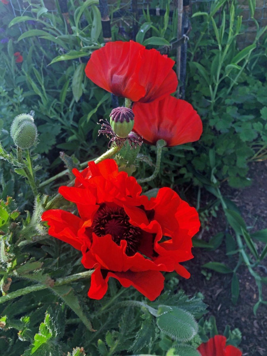 test Twitter Media - Oriental poppies now giving  their  colourful  though brief  display. #northberwick @RHSBloom @KSBScotland https://t.co/c7UoqqQv9v