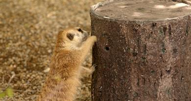 3D Printing Technology Helps Cincinnati Zoo's Meerkats Mimic Wild Behaviors @GEAdditive @g_printmonitor #print #printing #workflow #additivemanufacturing #3dprint @additive_global @saslaugh