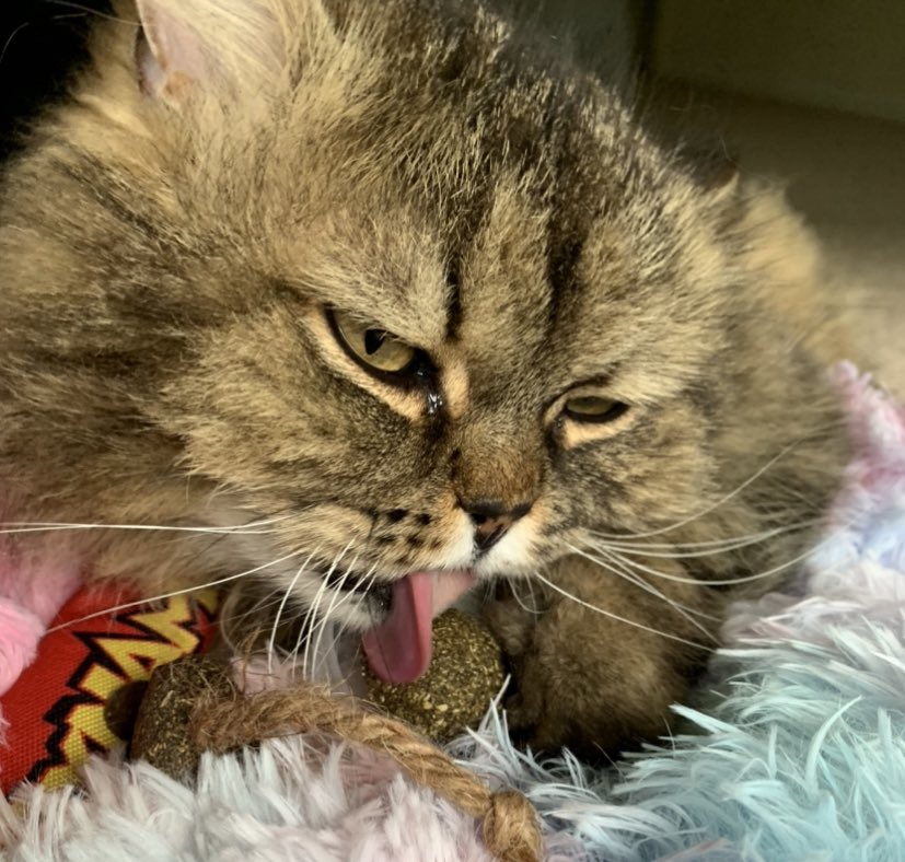 When the catnip hits and you can taste colours. #tongueouttuesday #catsoftwitter pic.twitter.com/wIhyZ18q3B