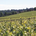 Image for the Tweet beginning: British vineyards hit by Covid