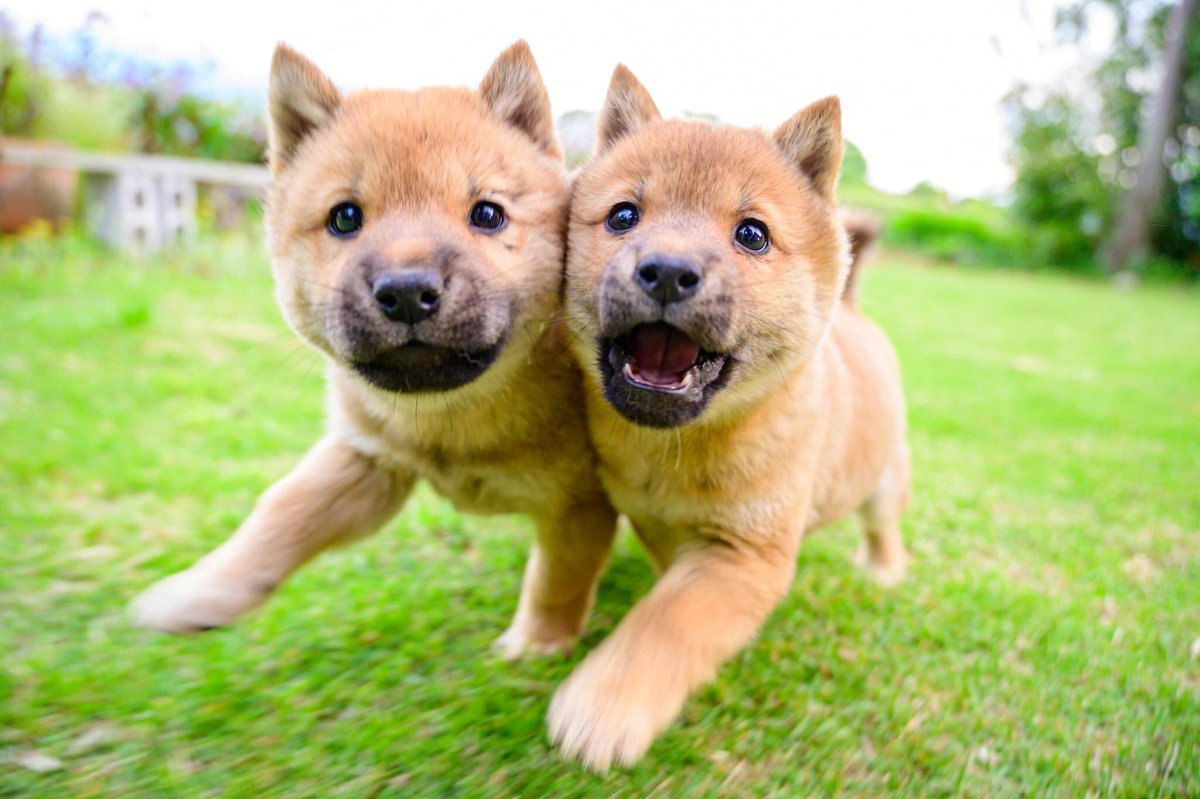 もう1回撮ろうと思っても2度と撮れないような感じに走りながら顔くっつけてくれました。奇跡的です。写真の神様が撮らせてくれました。#山陰柴犬