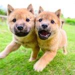 かわいい!w奇跡的に撮れた一枚、走りながら顔くっつけてる子犬たち