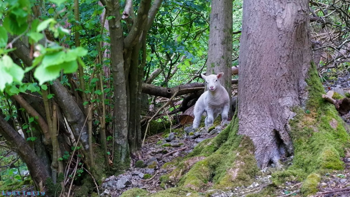 A very curious but cautious little lamb spotted in the woods #PhotoOfTheDay #NaturePhotographypic.twitter.com/rWn74onTsk