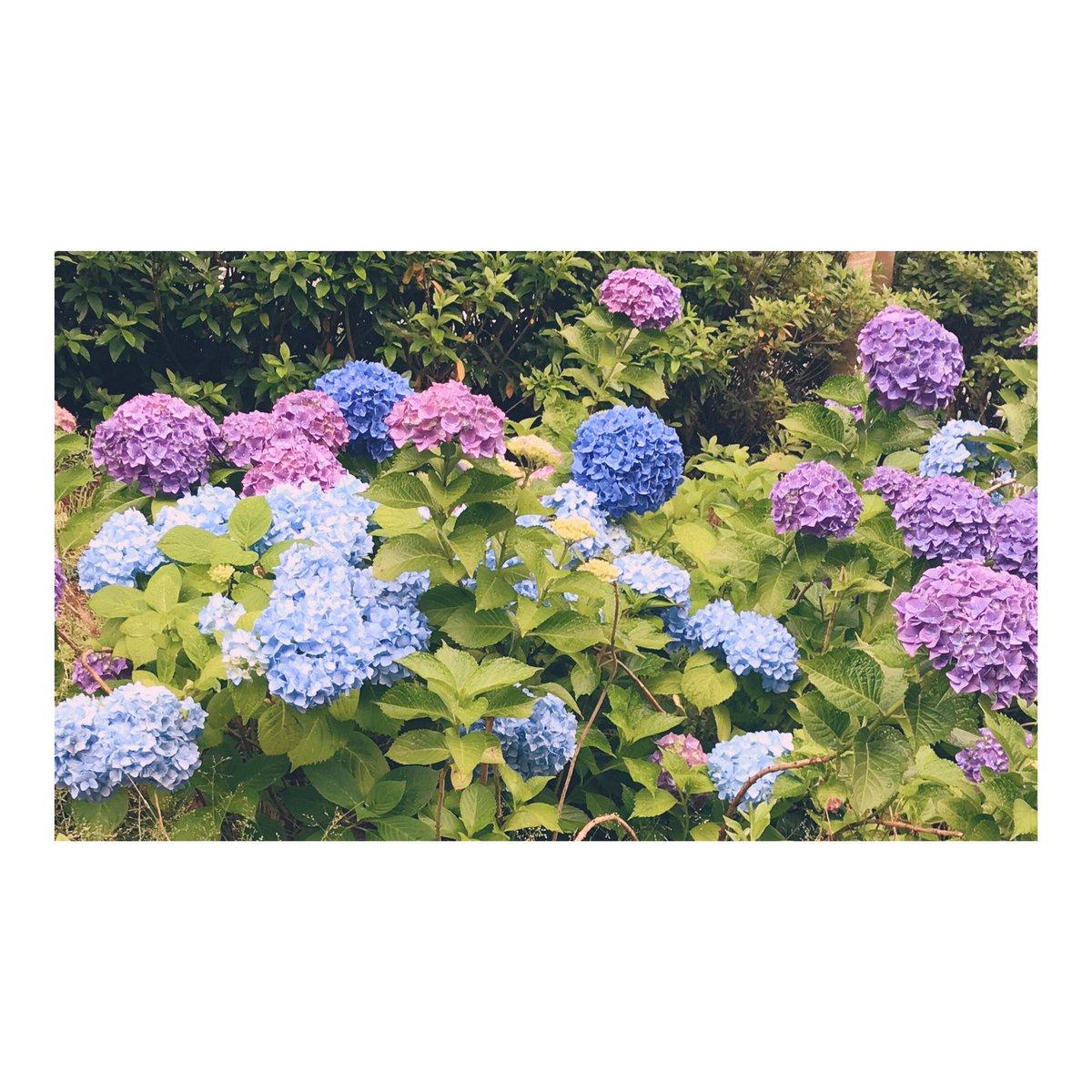 紫陽花が綺麗に咲いていたので呟いてみます!#紫陽花は好きなお花ランキング2位です