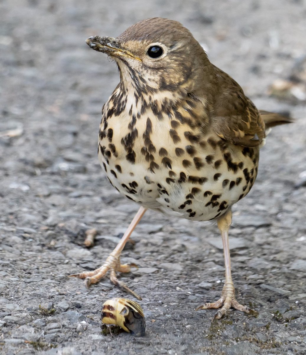 This is a song thrush terrorising the local snail population.  #mossley #wildlife #birds #songthrush @Natures_Voice @Britnatureguide @iNatureUK @LumixUK #nature  @tmbc_culture #saddleworth #tameside @TamesideCorr #summer #Springwatch @loloWilliams2pic.twitter.com/TzqgYeAUs9