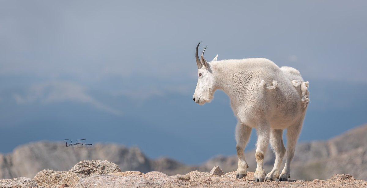 Mountain Goat....Mount Evans 14277 feet!  . . . . . #mtevans #goat #mountaingoat #mountains #mountaingoats #colorado #rockymountains #tamron #withmytamron #nikonphotographypic.twitter.com/gwTfSDyl2a