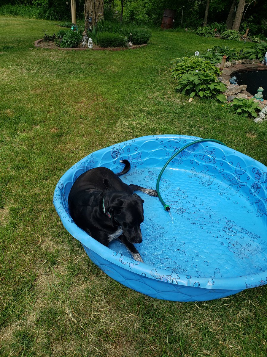 This feels good mum..About time you brought out dis #pool #dogs #labradorretriever #funtimes #water #puppylove #blueheeler #hound