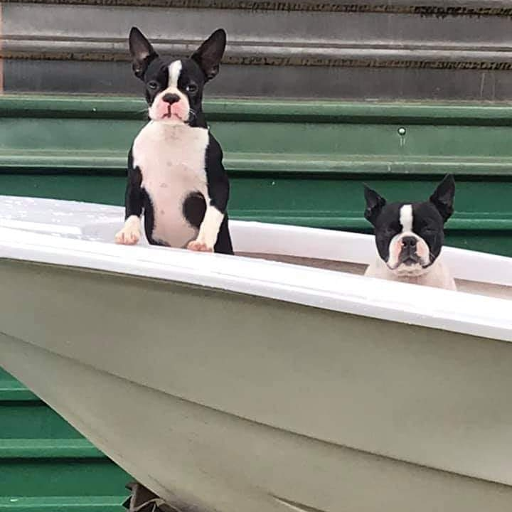 Ahoy me maties, all Bosties aboard!  #bostonterriers #boat pic.twitter.com/pl35g7WxDi