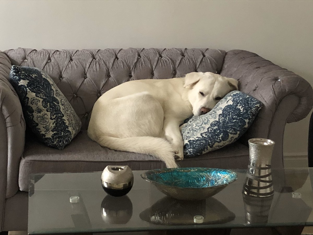 """Shhhh.....I'm not supposed to be on the """"good"""" couch  #badboy #spoiled #tuesdayvibes #relaxing #dogsoftwitter #secret pic.twitter.com/bUtk6vgCAK"""