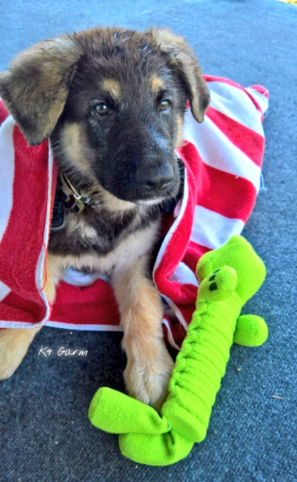 In honor of his birthday on 09 June and his birthday month, we will be posting daily #BabyMoosedog puppy pics! #K9Garm #SARK9 #dogsoftwitter #dog #dogs #germanshepherd #gsd #moosedog #FaMoosepic.twitter.com/S4OXPGPZB9