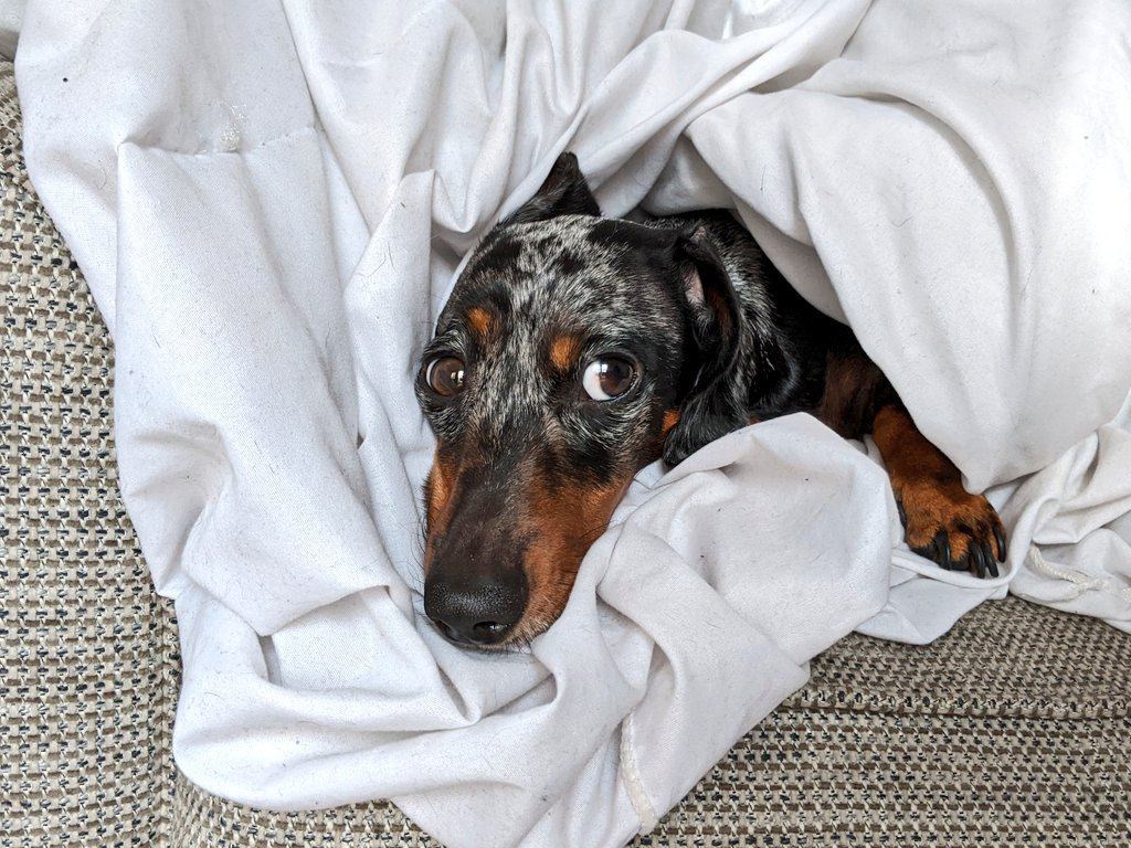 @SausageRichmond @PaulaTheSausage Hehe! I do likes to work the big brown eyes when there's snackies around 🥺