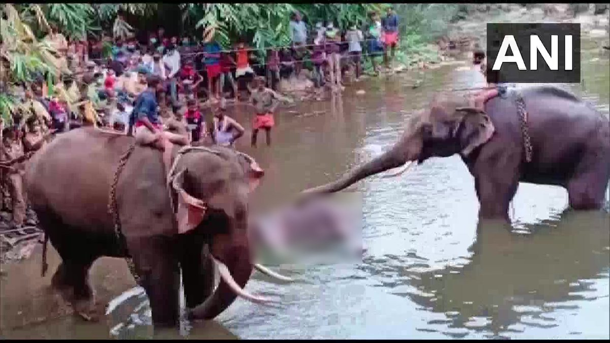 """Kerala: A pregnant elephant died on May 27 after a local allegedly fed her a pineapple stuffed with crackers, in Malappuram. Wildlife Officer, Silent Valley National Park says, """"It died standing in river Velliyar after it suffered an injury in its lower jaw"""". https://t.co/HRO6EAPbut"""