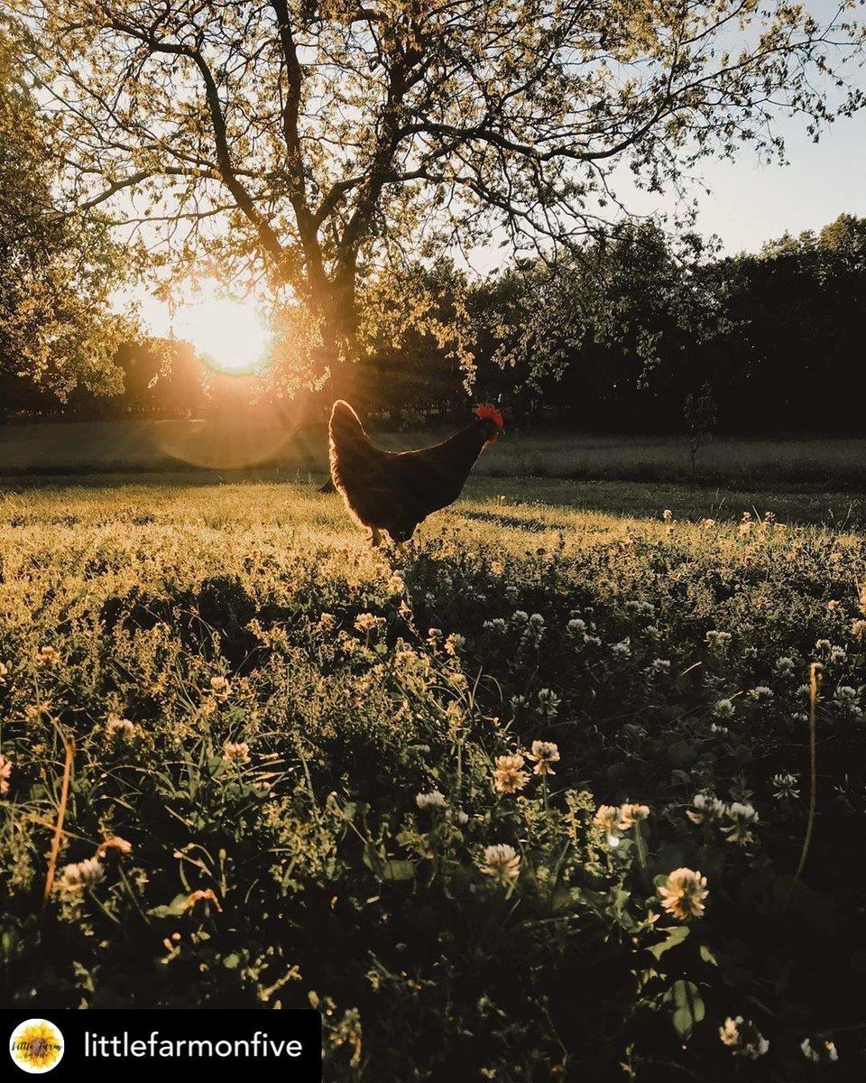 Taking life one sunset at a time. : Instagram/littlefarmonfive #AtwoodsRanchAndHome #Sunset #Nature #Summer #Sun #Beautiful #FarmLife #RanchLife #Chickens #HappyHens #Sunsets #SunsetLovers #FarmLove #FarmLifestyle #Agriculture #Homestead #HomesteadLife #Farmstead #BackyardFlockpic.twitter.com/fQbzDCqJ2A