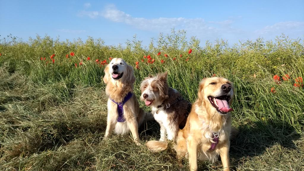 Late entry for #TongueOutTuesday today, the poppies are out! <br>http://pic.twitter.com/RQKPtVv2Ab