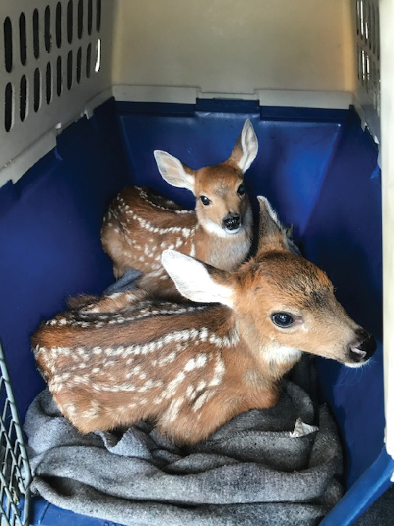 Great news! BIG THANK YOU to @_BCCOS & Min of FLNRORD for taking quick action to reroute these little ones from the movie business to a second chance in the wild through @CritterWildlife. We really appreciate your efforts. Amazing! @GeorgeHeyman @coast_reporter #BCgov #BCpoli https://t.co/7ajSVtlHVo