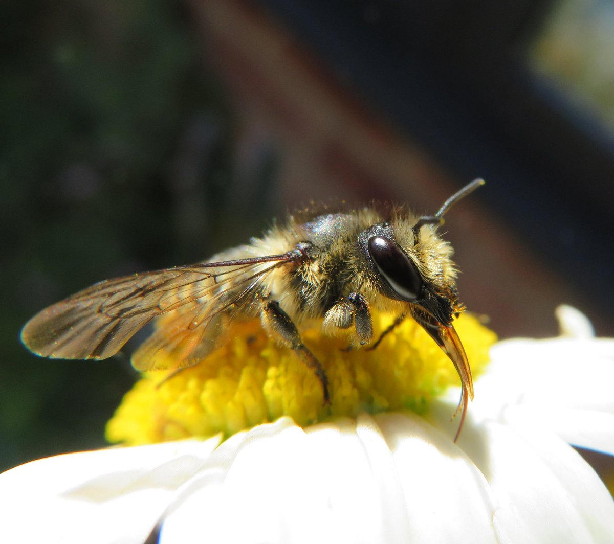 Leaf cutter bee I think. Posing on a moon Daisy in the garden. @Bees @NHM_Bees @BumblebeeTrust @BTO_GBW @BBOWT @NatureUK @Natures_Voicepic.twitter.com/FA11mwJlPp  by Magpie
