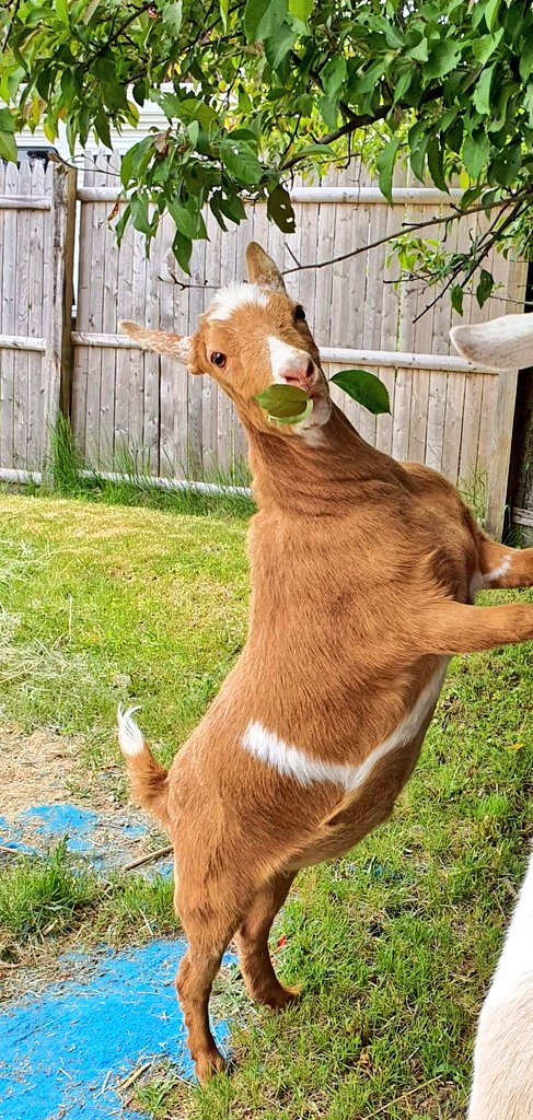 #Snack time! #goats love when #nature falls in their mouth!  pic.twitter.com/oVzLcnaOoa