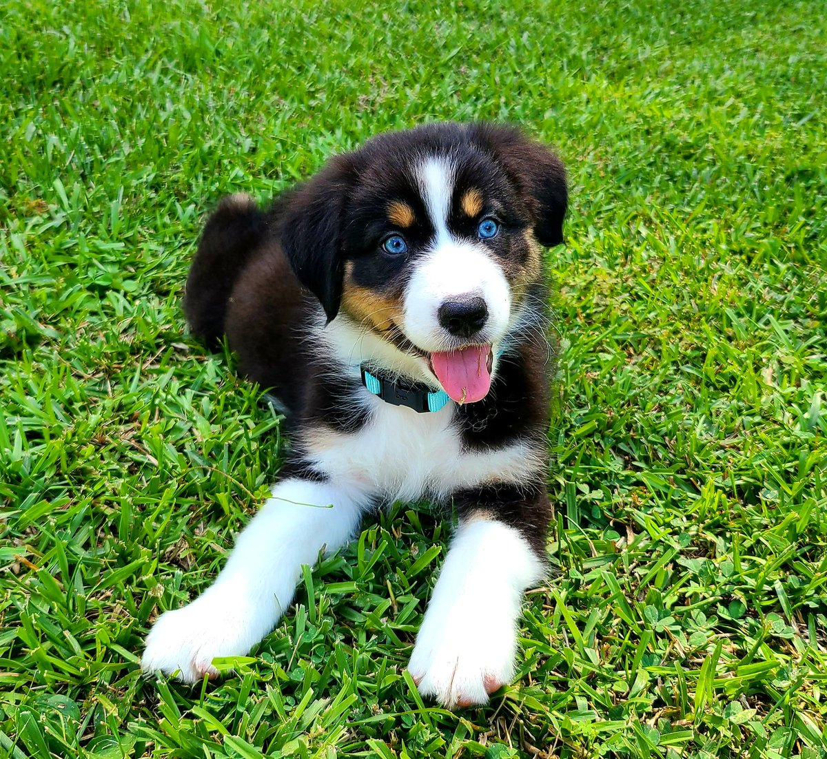 Our new girl Luna #australianshepherd #aussie pic.twitter.com/I0MkFbKIlq