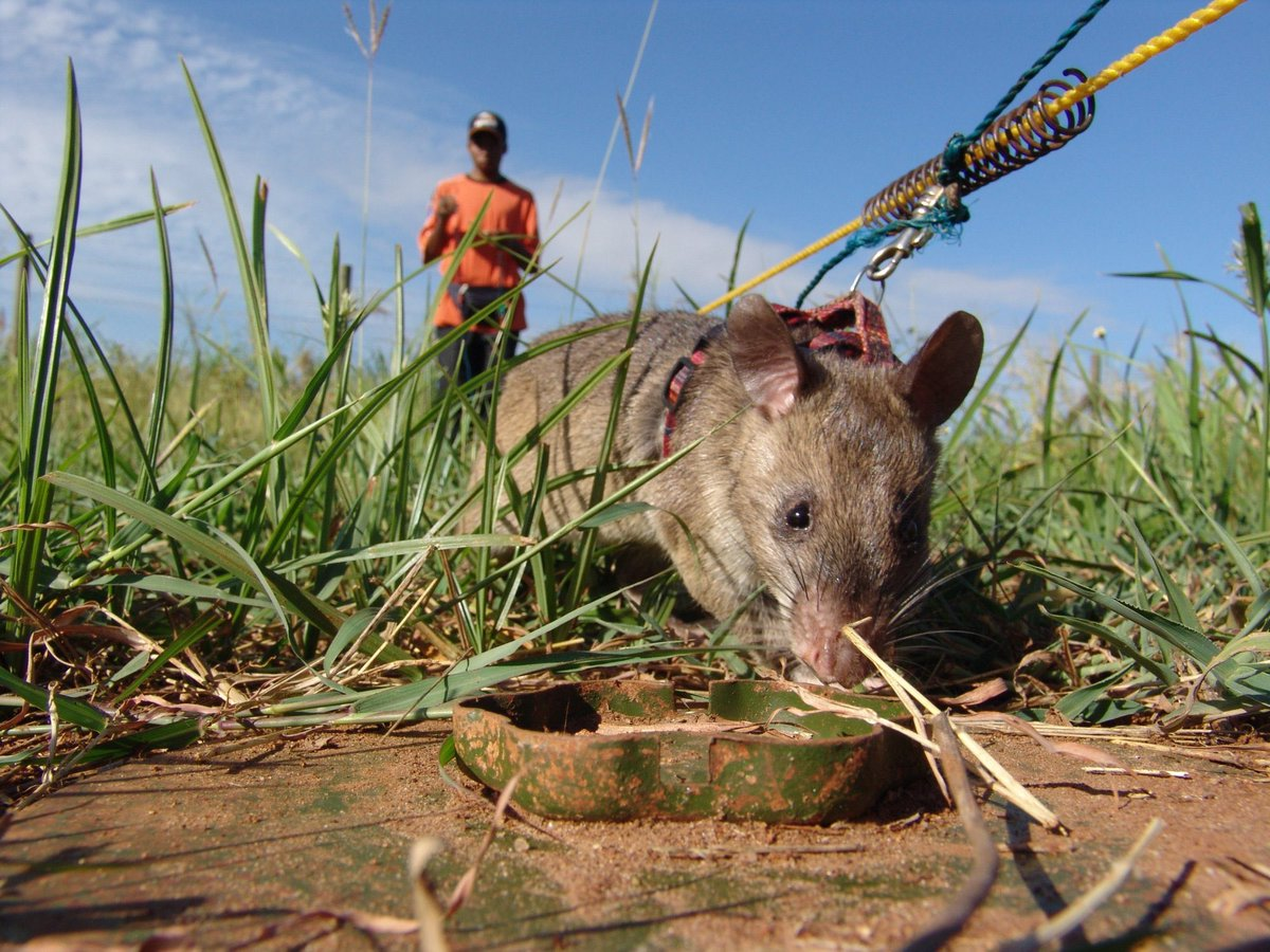I want to make a shoutout APOPO, a non-profit organization, trains African Giant Pouched Rats, also known as giant pouched rats or Gambian pouched rats (genus Cricetomys), to detect land mines Please follow them and if you can donate to them https://t.co/nKRA2Mn8O5 https://t.co/dE9pAUgXrF