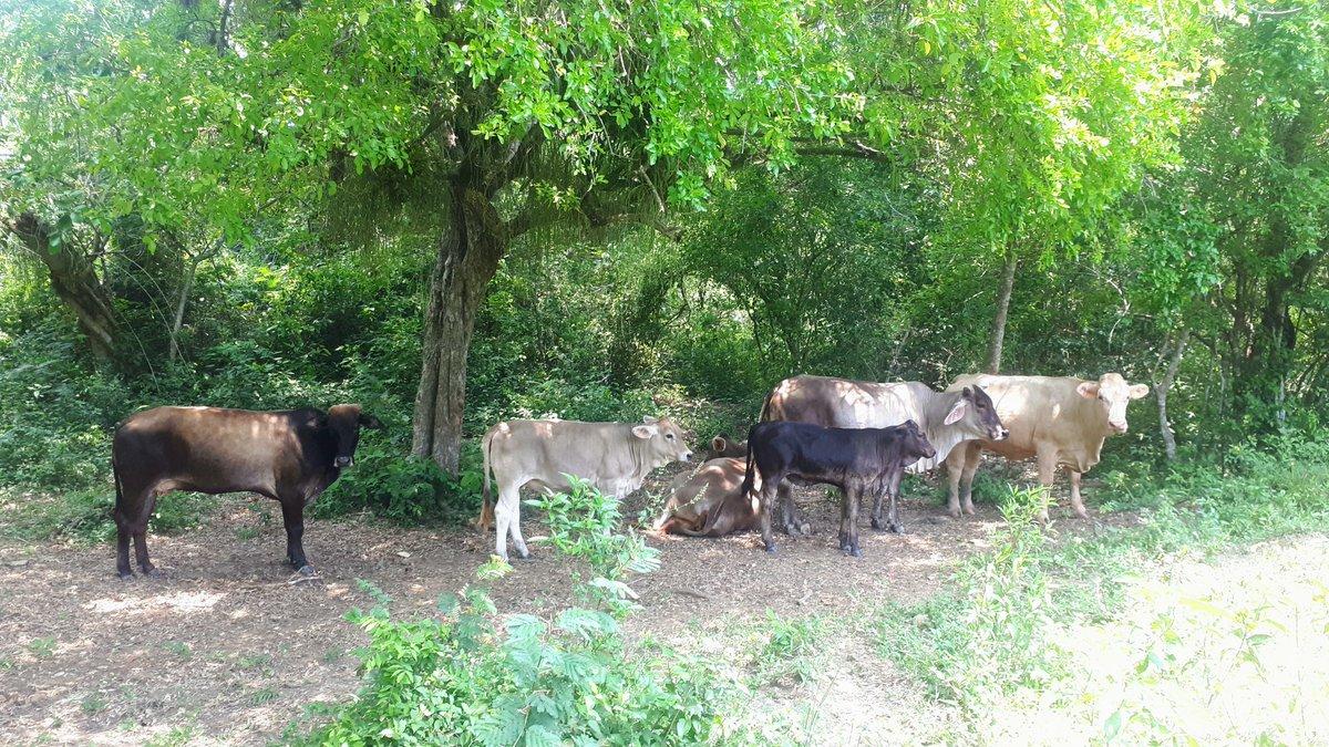 Tuvimos que andar entre veredas para encontrar el ganado que se encontraba tranquilamente en la sombra de la zanja que pasa por el #RanchoCasasViejas. . . . #rancho #ranch #ranchlife #postalesdelcampo #ganadería #ganado #Huasteca #Veracruz #SoyGanaderopic.twitter.com/cmtv70jVPi