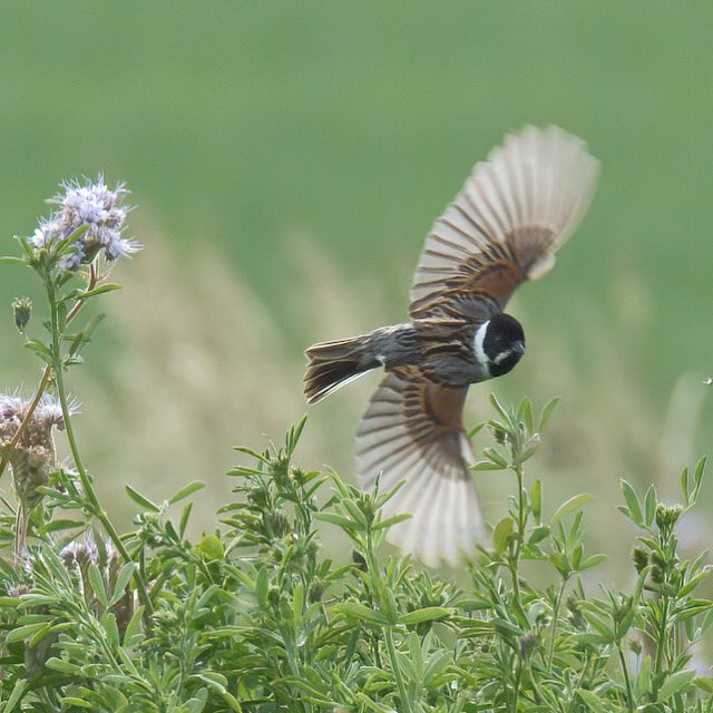 Reed bunting on the farm today, an unusual sighting on the farm but there appeared to be a pair #reedbunting #wildlife #conservation #birding https://t.co/AhLpFTbicp