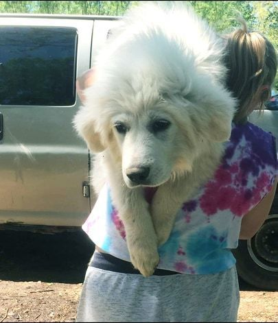 Look at Amy!   This beauty is a puppy Great Pyrenees looking for her forever home.   Amy is sweet, playful and super adorable.   Learn more about Amy on our website and apply today!   http://whiteriveranimalrescue.org  #dogrescue #greatpyreneespic.twitter.com/DpTRQYxECI