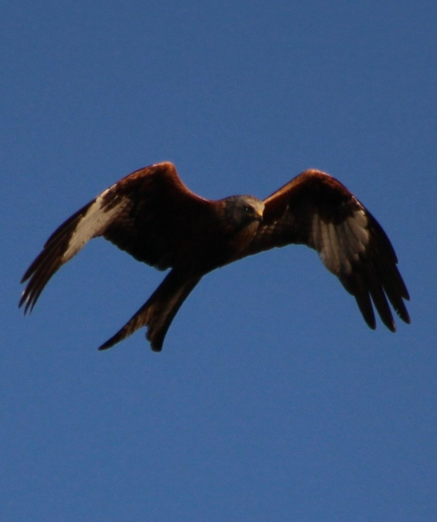 Snapped this magnificent Red Kite whilst sat out enjoying the evening sun in the garden tonight! ♥️  #RedKite #BirdsOfPrey #Photography #NoFilter #Sunshine #Wildlife #Conservation #Cathartic https://t.co/SPcMnpEomn