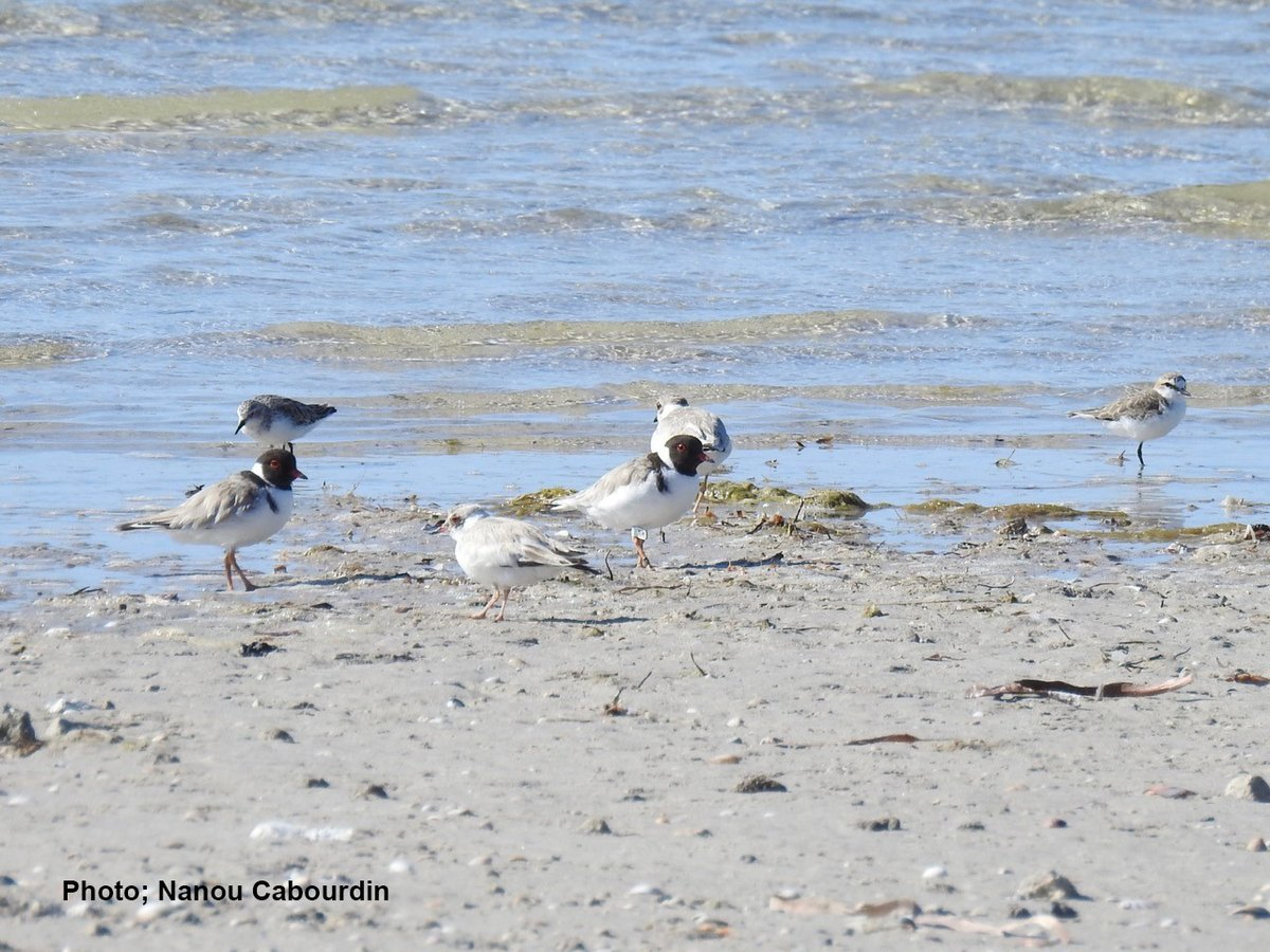 We're busy crunching the numbers of the season! Good news from the Yorke Peninsula #HoodedPlovers! With 20 fledglings from the 26 pairs that were monitored, this has been the best season for the Yorke's hoodies since the monitoring began 8 years ago! #MindTheHoodies #conservation https://t.co/sAKgg9eWEQ