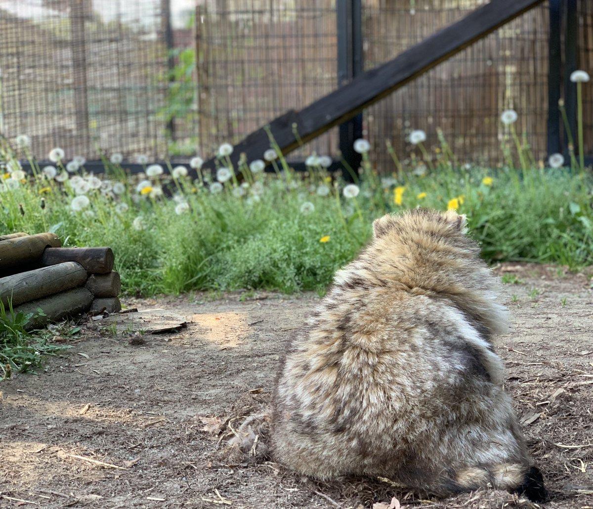 大地に溶ける今日のたぬきblog()#おびひろ動物園 #エゾタヌキ#obihirozoo   #raccoondog#今日のたぬき       #tanuki