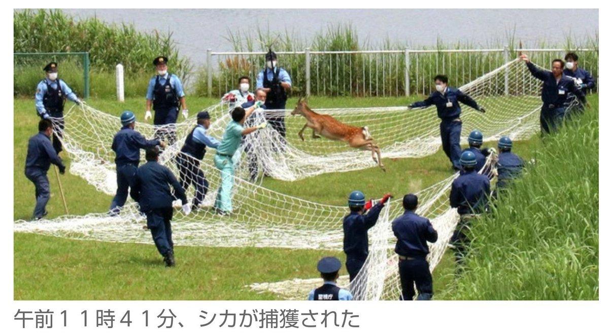 捕まりました。このシカをどうするのか、今、足立区役所さんは頑張って検討しています。山に帰してあげてほしいです。シカ捕獲!東京・足立区の荒川河川敷にギャラリー200人超