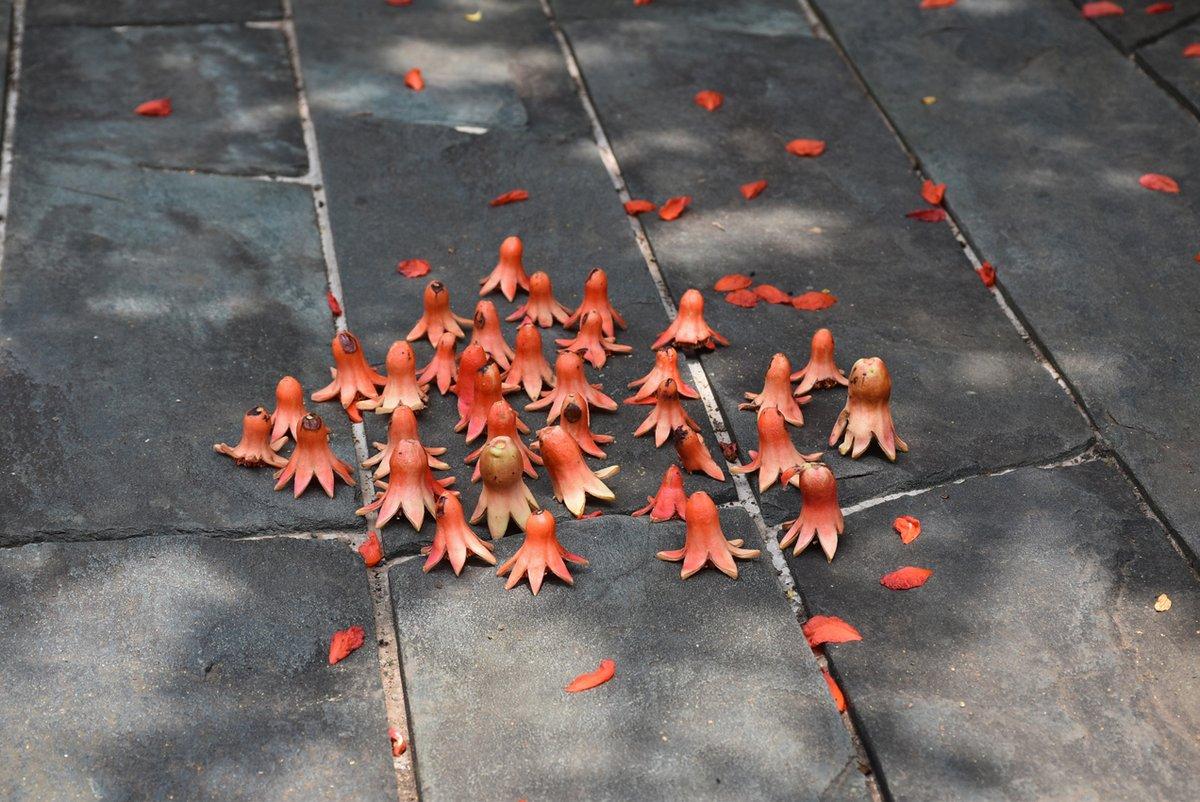 タコさんウインナー?ざくろの花の、花びらが散った後の子房部分です。実篤公園にいらした小さなお子さんが並べて行き、その後いらした別のお子さんも続いて並べてくれて、可愛い風景が出現しました。