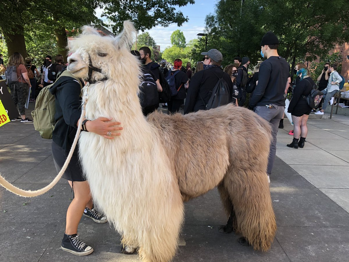 Please excuse the break in travel news and nature photos, as I cover tonight's protest in Portland. It begins, pleasantly enough, with a llama.