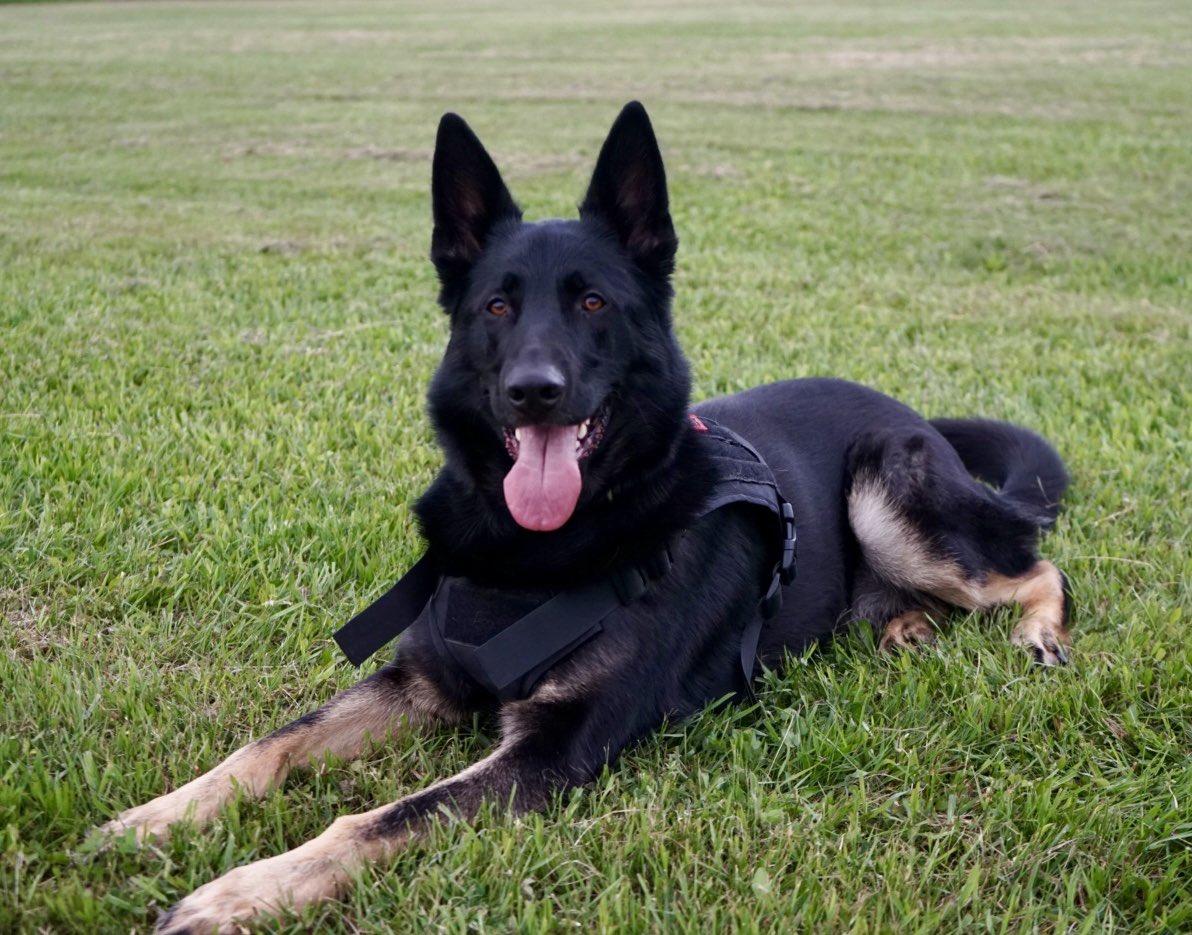 Meet my Black German Shepherd, Kobe the most perfect heartbeat I've ever heard  <br>http://pic.twitter.com/HzkQmGcVCa