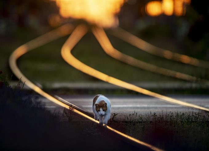 ドイツ・フランクフルトで、朝焼けの中、線路の上を歩く猫。見事にバランスを保っています。