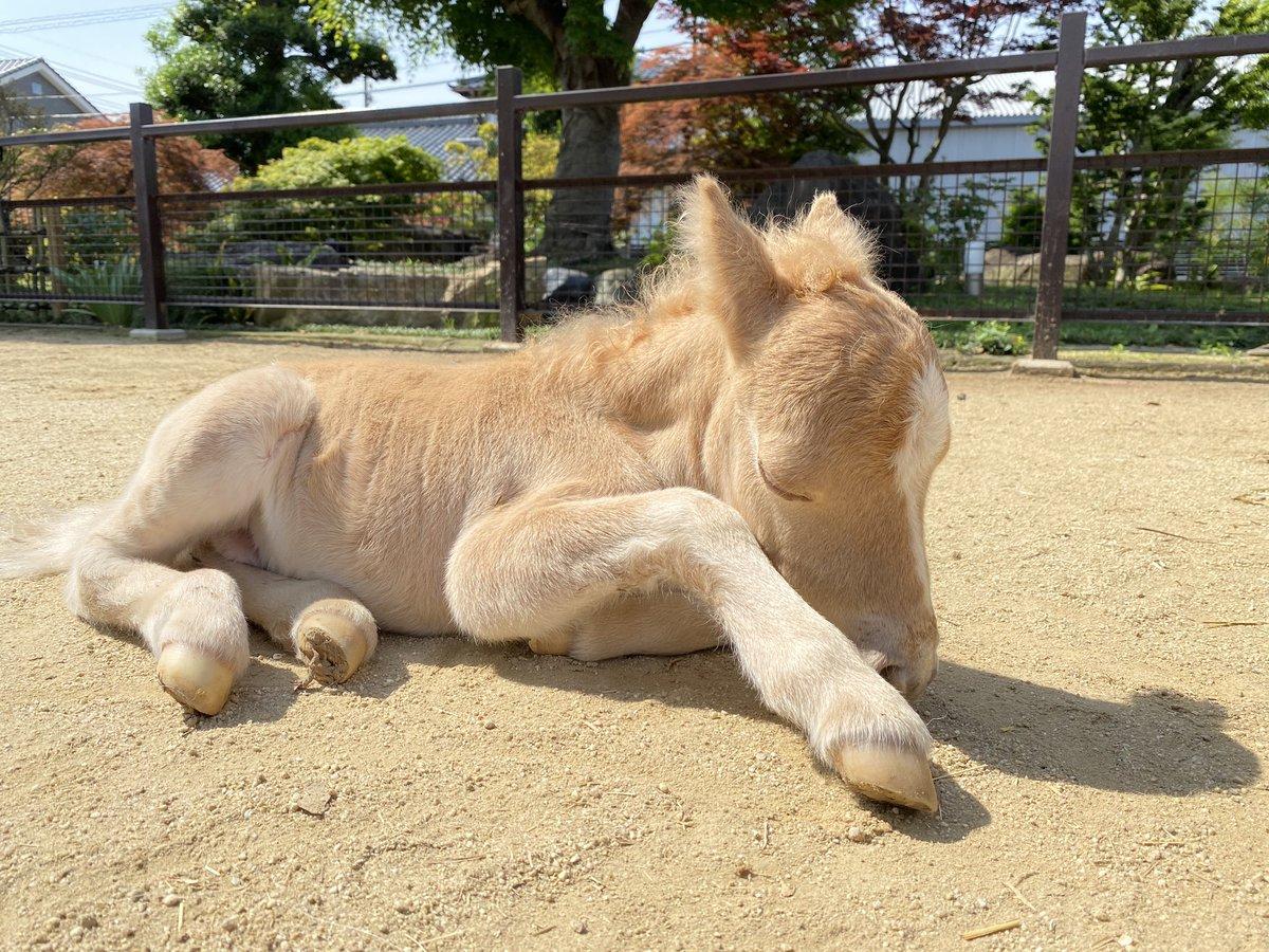 初めてのお外。遊んで寝てお乳飲んで、また寝る。#ミニチュアホース 生後1日目の赤ちゃん