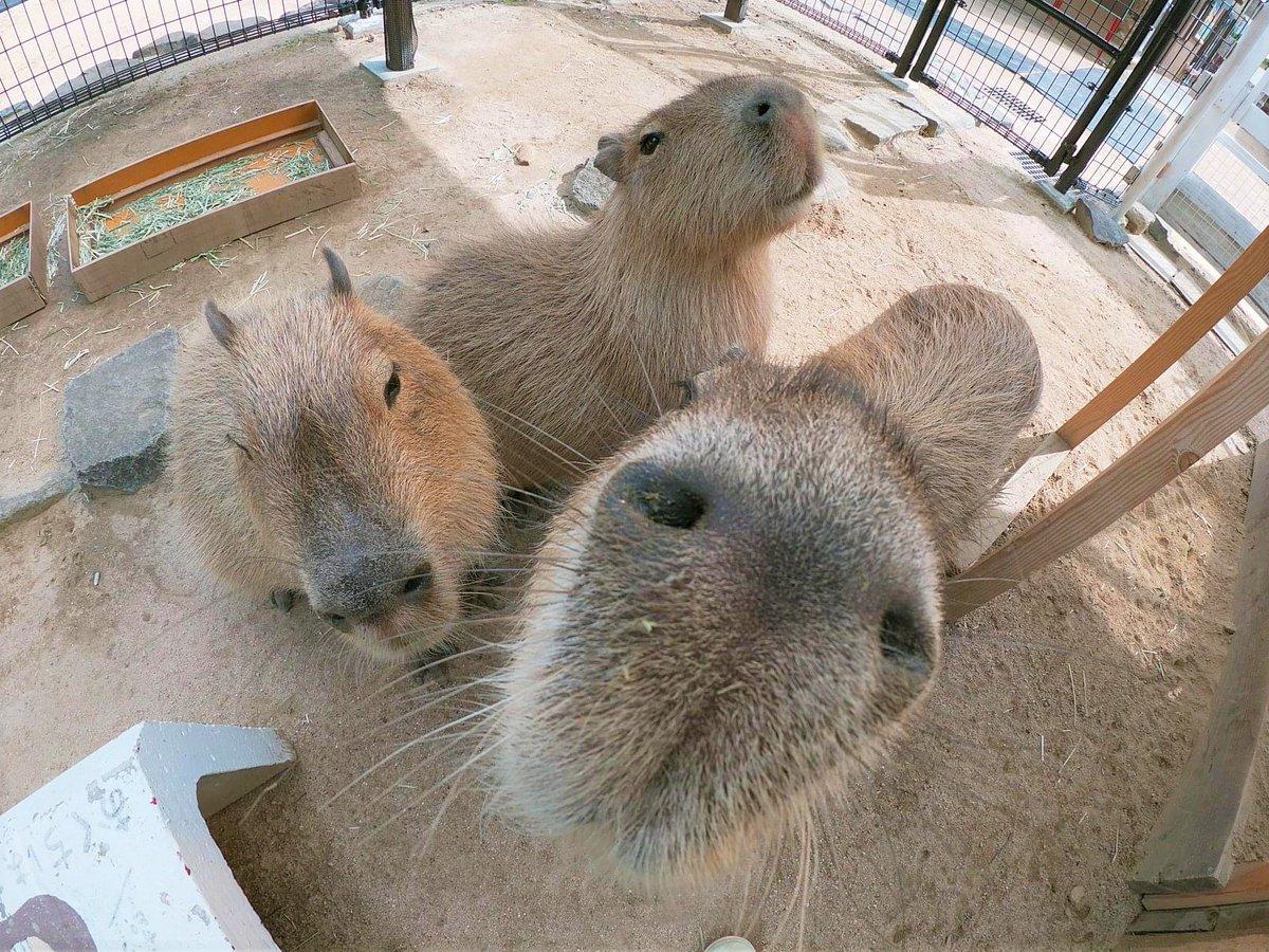 カピバラをドアップで撮影するとほとんど鼻でした・・ぬ~んとしていて、いつもに増しておとぼけ顔(笑)そこが可愛い魅力ですね(^^)♪#神戸市 #王子動物園#カピバラ