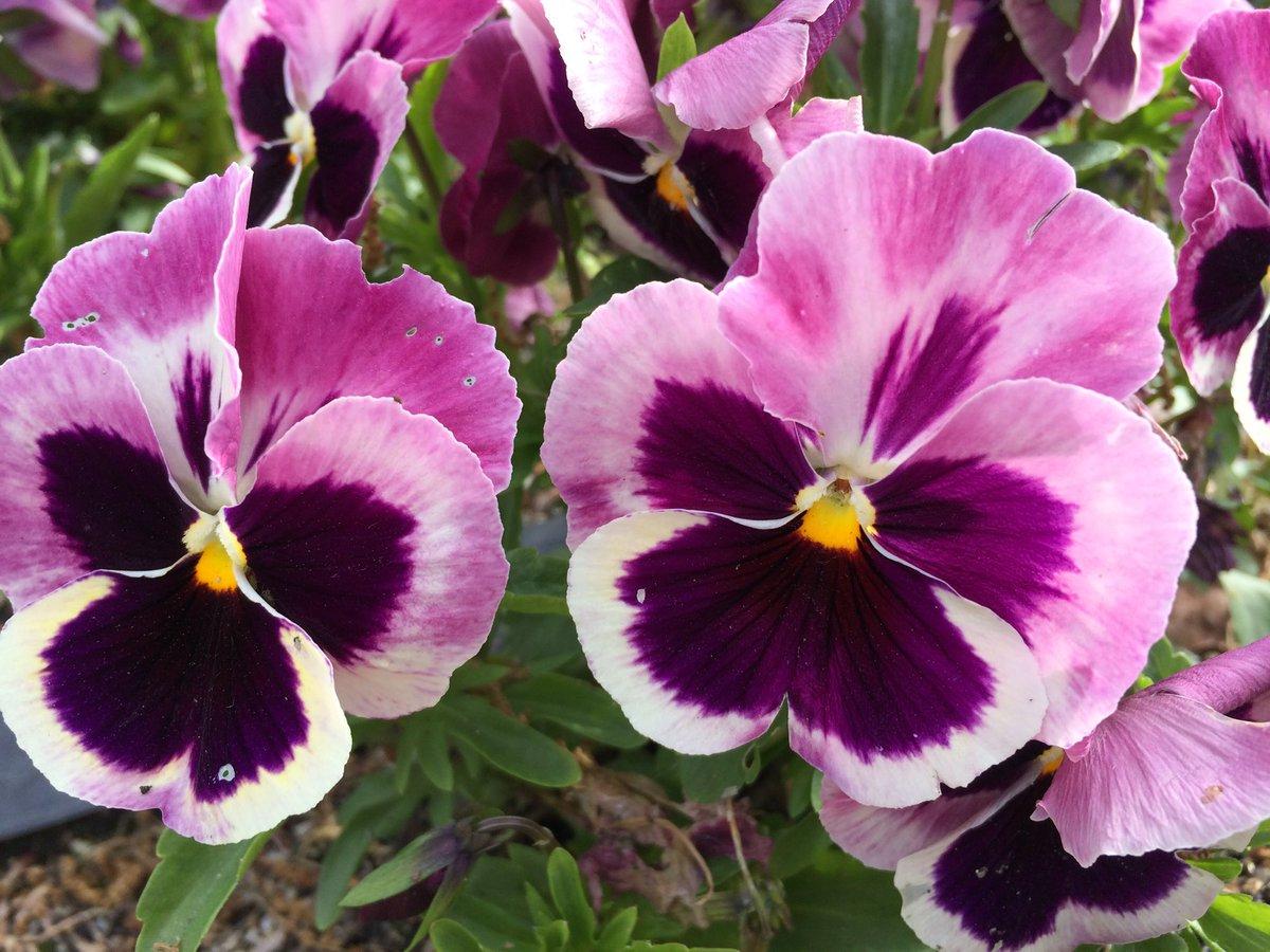 【20603今日の言葉】✳️ 「女性は過去を持った男が好き。 でも、プレゼントを持った男はもっと好き。」  ステキです♪💖 ✴︎present(現在) #flowers #humor #present #pansy #cute #kawaii #花#フラワー#進路#夢#未来#応援 #パンジー #花のある暮らし  #笑門来福 Have a great day!🔔